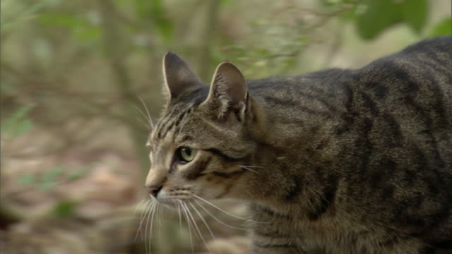 Feral cat (Felis catus) hunts in forest, New Zealand