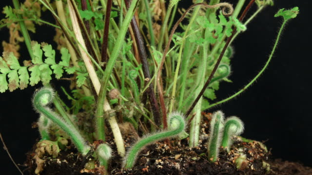 Fern growing time lapse video