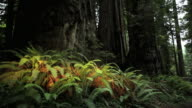 TU, Ferns and Redwoods, Redwoods National Park, California