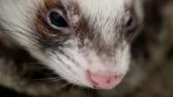 Ferret snout close up