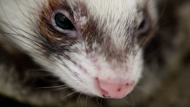 Ferret snout close up