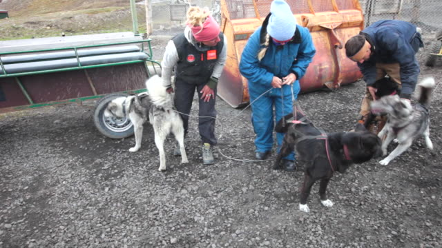 A few young people preparing Husky dogs for dog sledding on wheels for tourists at a dog-kennel on Spitsbergen