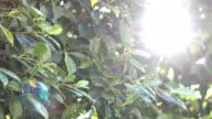 Ficus tree, 4k