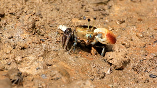 Fiddler crabs plays
