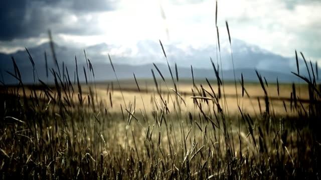 Field in wind