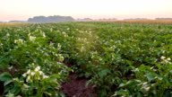 WS DS Field Of Blooming Potato Plants