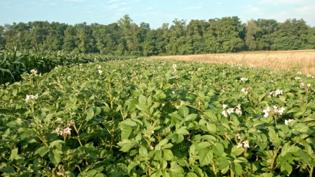 DS Field of blooming potato plants