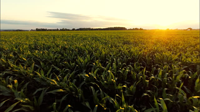 AERIAL Field Of Corn At Sunset