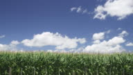 WS Field of corn blowing in wind / Matamata, New Zealand