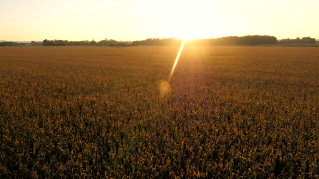 AERIAL Feld von Mais In der Sonne