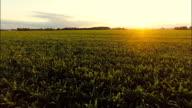 AERIAL Feld Mais Pflanzen bei Sonnenuntergang