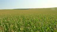 AERIAL Field of corn