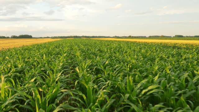 AERIAL fält av majs