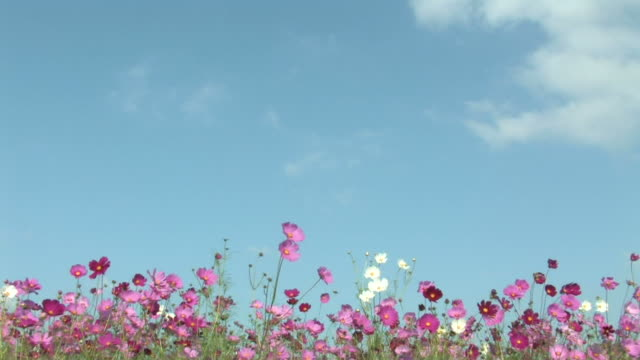MS Field of cosmos blowing in breeze, against sky