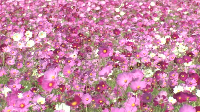 MS Field of cosmos blowing in breeze