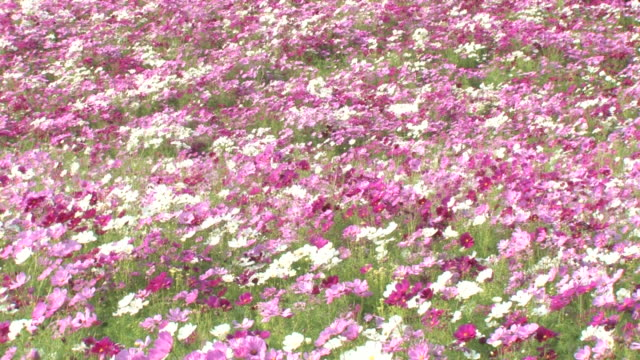 Field of cosmos blowing in wind