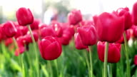 Tanz Tulpen Feld