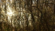 field of feather grass at sunlight
