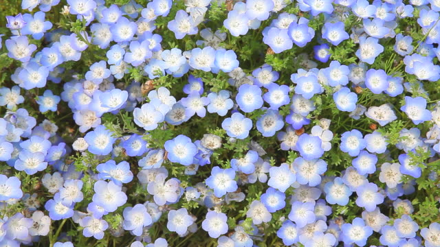 Field of flowers of the baby blue-eyes