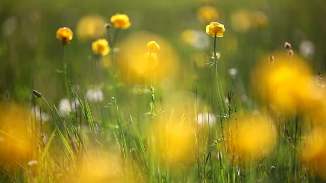 Globo campo di fiori su un prato estivo, Baviera, Germania