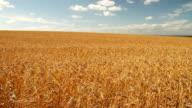 Field of golden barley in wind