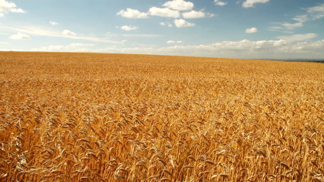 Field of golden barley in wind