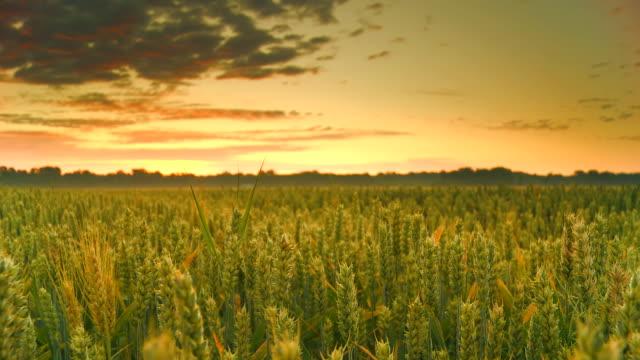 HD CRANE: Field Of Green Wheat
