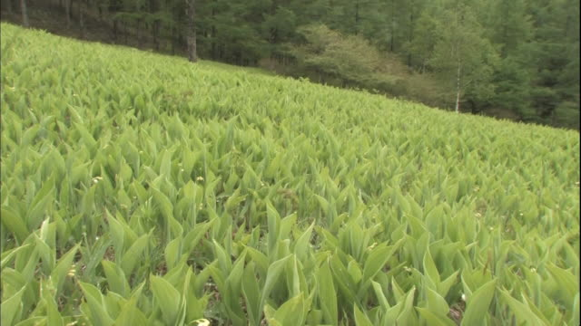 A field of lilies of the valley cover a hillside.