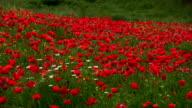 Bereich der Poppies, Toskana, Italien im Frühling