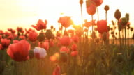 HD DOLLY: Field Of Poppy At Sunset