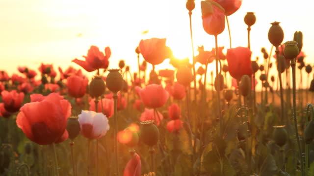 HD DOLLY: Feld von Mohn bei Sonnenuntergang