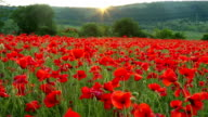 Field of red poppies at sunset