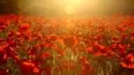 Bereich der rote poppies bei Sonnenuntergang