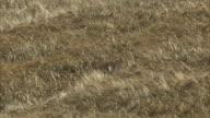 WS field of ripe barley Hordeum vulgare blowing in the wind