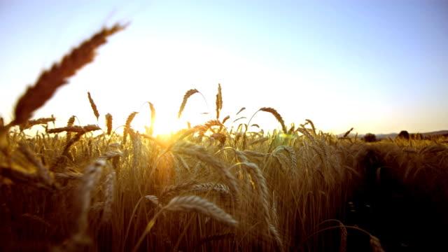 Field Of Rye