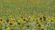 Field of sunflowers in bloom as far as the eye can see