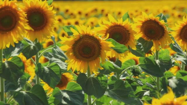 CU R/F Field of sunflowers waving in wind / Pamplona, Navarre, Spain