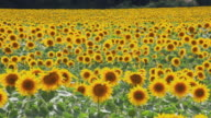 WS Field of sunflowers waving in wind / Pamplona, Navarre, Spain