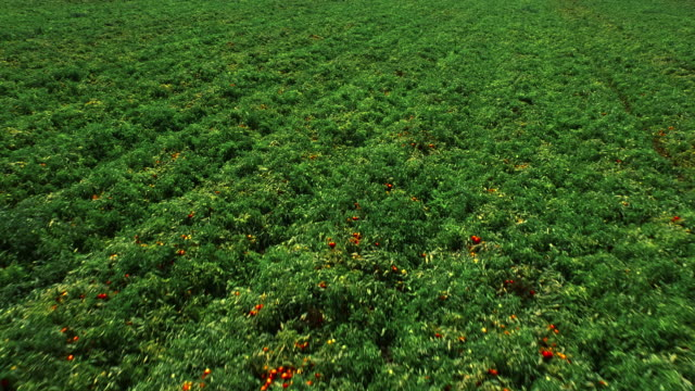 Field of tomato bushes. Aerial view. Agricultural background