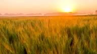 WS DS Field Of Wheat At Sunrise