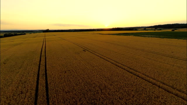 AERIAL Field Of Wheat At Sunset