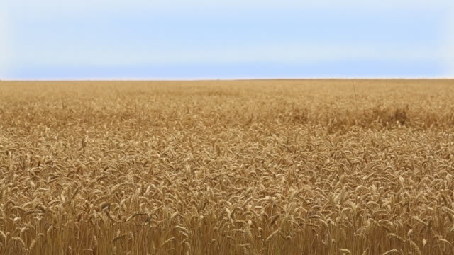 WS Field of Wheat Blowing in the Wind / Oyster, Virginia, USA