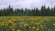 T/L WS Field of yellow wildflowers and pine trees / Yellowstone, Wyoming, USA