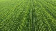 Freistil-Bereich der jungen Mais Pflanzen
