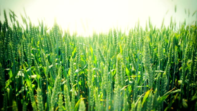 Field of young, green grain