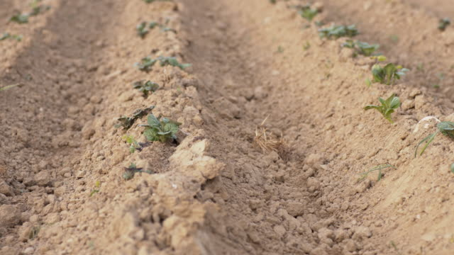 DS Field of young potato plants