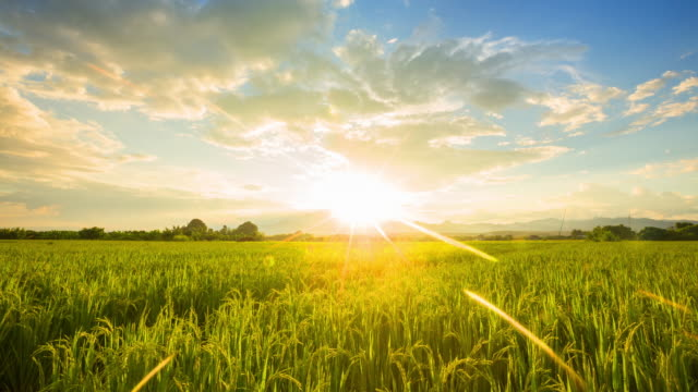 Field rice and beautiful sunrise in morning