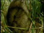 Field vole grooms itself, Devon