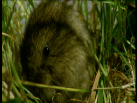 Field vole grooms itself, Devon