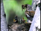 Fieldfare arrives at nest in tree and feeds chicks worms, Sweden
